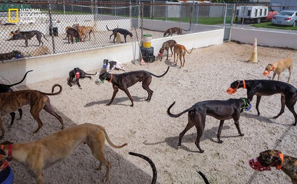 كلاب السباق.. تبلغ خط النهاية!