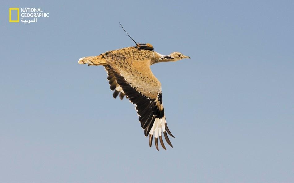 الحبارى.. الطائر المهاجر