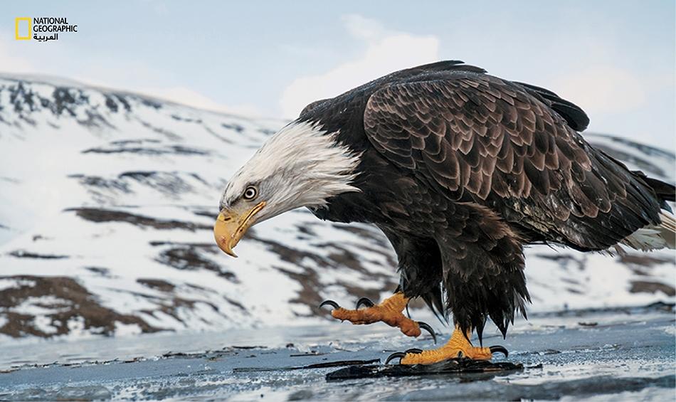 نسرٌ يُنقِّب في الأرض عن فتات طعام طيور أخرى. في ما مضى كان النسر الأصلع مُدرجاً في قائمة الأنواع المهددة بالانقراض.
