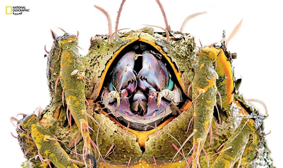 يتوفر الجزء الداخلي لفم العثة الترابية (Oribatid) على أدوات أكثر من تلك الموجودة في سكّين الجيش السويسري على حد وصف المصوّر مارتن أوغيرلي. إذ تشتمل على أطراف شبيهة بالمقاريض وأخرى ذات حجم دقيق تستخدمها في تناول الطعام. Hermanniella sp – الصورة...