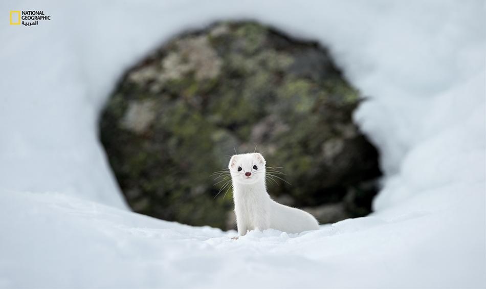 في الجو البارد، يتحوّل لون فرو القاقم (المائل إلى الحُمْرة عادةً) ليكتسي بكسائه الشتوي الأبيض.