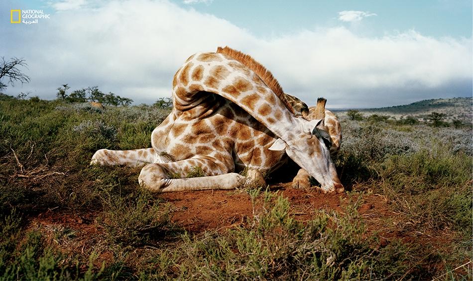 طُرحت هذه الزرافة أرضاً على يد صياد بمحافظة كيب الشرقية في جنوب إفريقيا عام 2012.