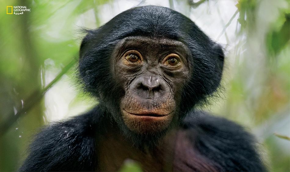 """كانت قردة البونوبو فيما مضى تسمى """"الشمبانزي القزم""""، وهي تعد نوعا فريدا من القردة التي تعيش حصرا في غابات الضفة اليسرى لنهر الكونغو. وقد ألقت بعض الأبحاث الحديثة الضوء على جوانب جديدة من سلوكاتها، لاسيما الجنسية."""
