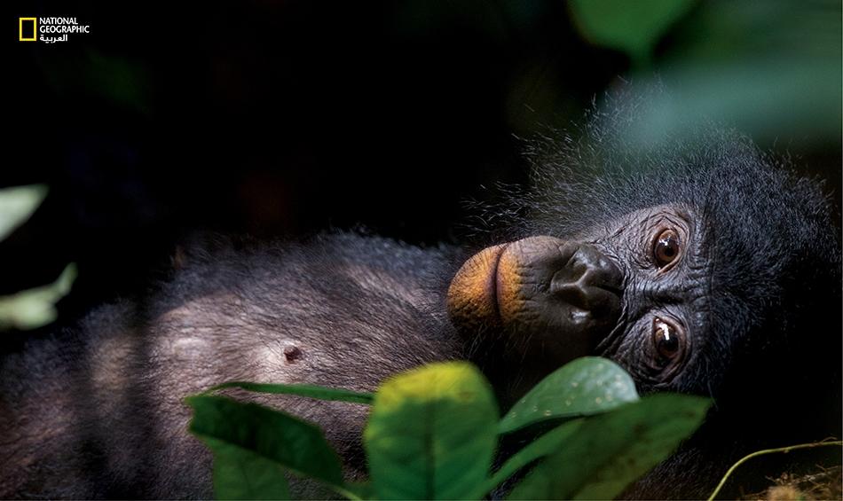 """أنثى بونوبو شابة تستريح في الغابة في موقع """"لوي كوتالي"""" بجمهورية الكونغو الديمقراطية. وتبدو شفتاها برتقاليتين من أثر تناول الطين، الذي يساعدها على الأرجح في مقاومة المواد النباتية السامة في نظامها الغذائي."""