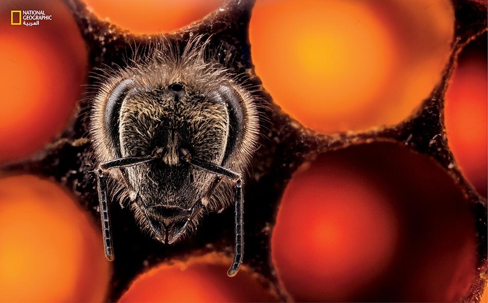 نحلة عسل جديدة تغادر الحضنة. ستخرج هذه الشغالة إلى البراري طلباً للغذاء وستشارك في صنع العسل وفي إعداد الجيل التالي من النحل، على مرّ حياتها (ستة أسابيع فقط).