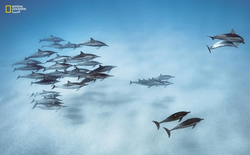 دلافين دوّارة تعود من رحلة صيد إلى خليجٍ قبالة جزيرة أواهو التابعة لأرخبيل هاواي. وتحتشد هذه الدلافين الاجتماعية الثرثارة في مجموعات قد يصل عدد أفرادها إلى آلاف الدلافين.