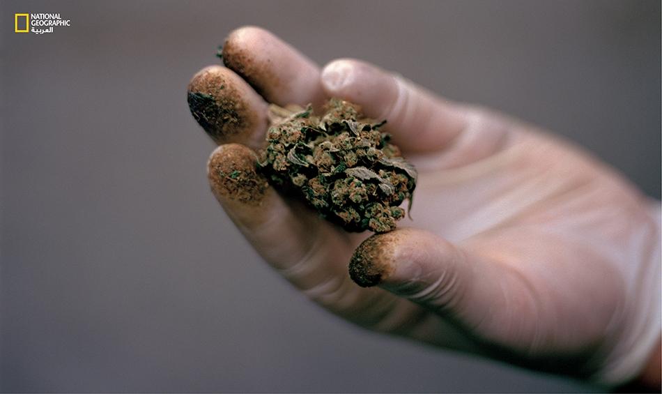 عامل قنب هندي بولاية سياتل يمسك ببُرعم مرشوش بالراتينج لصنف يدعى (Blueberry Cheesecake).