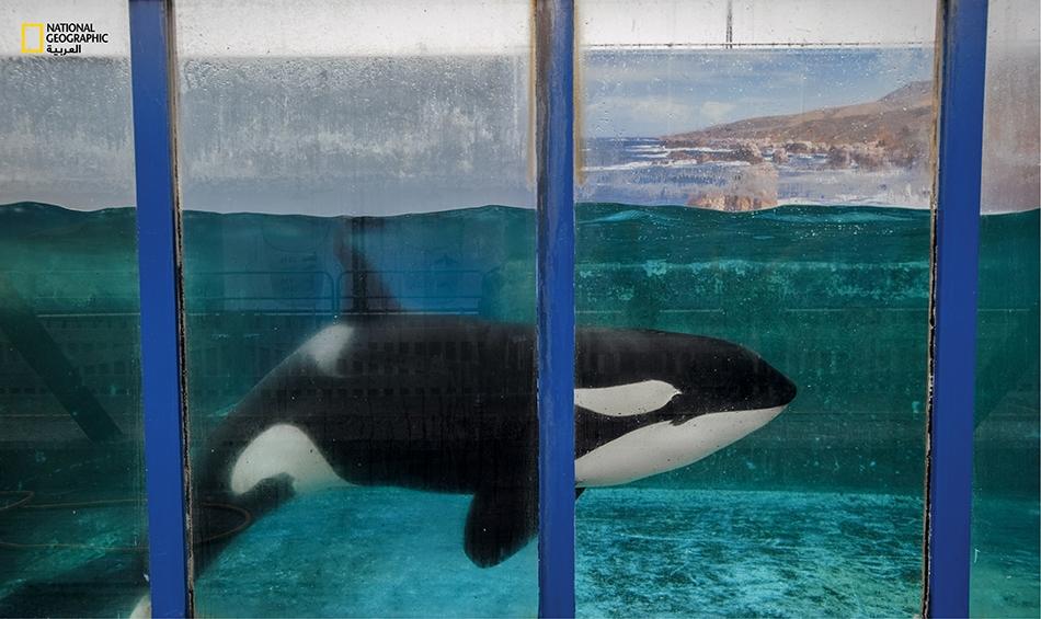 الدلفين مورغن هولـنـدا كانت أنثى الحوت القاتل (الأُرْكَة) هذه قد التُقِطَت قبالة ساحل هولندا ثم أُرسلت إلى إسبانيا بعد أن خشي المسؤولون ألاّ تستطيع العودة إلى البحر. وتُعدّ الحيتان القاتلة أكبر الدلافين حجماً على الإطلاق.