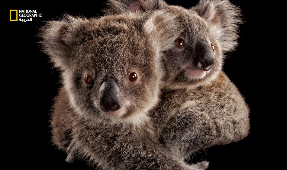 تنصيف حيوان الكوالا بين الانواع المعرضة للخطر