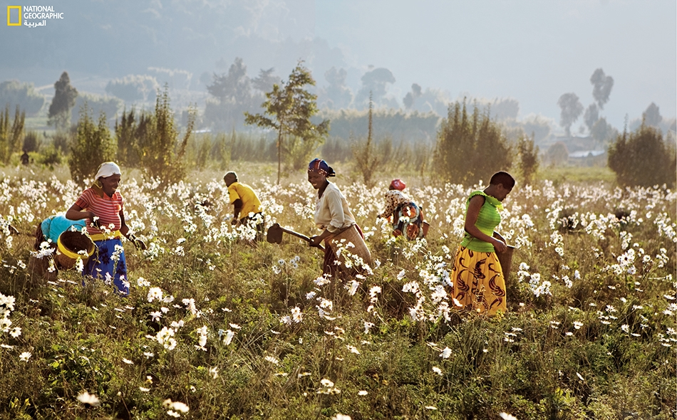 البيريثروم مبيد حشرات طبيعي يُشتقُّ من بعض أنواع الأقحوان. نرى في الصورة الكبرى مزارعات يعتنين بمحصول الأقحوان في شمال رواندا.