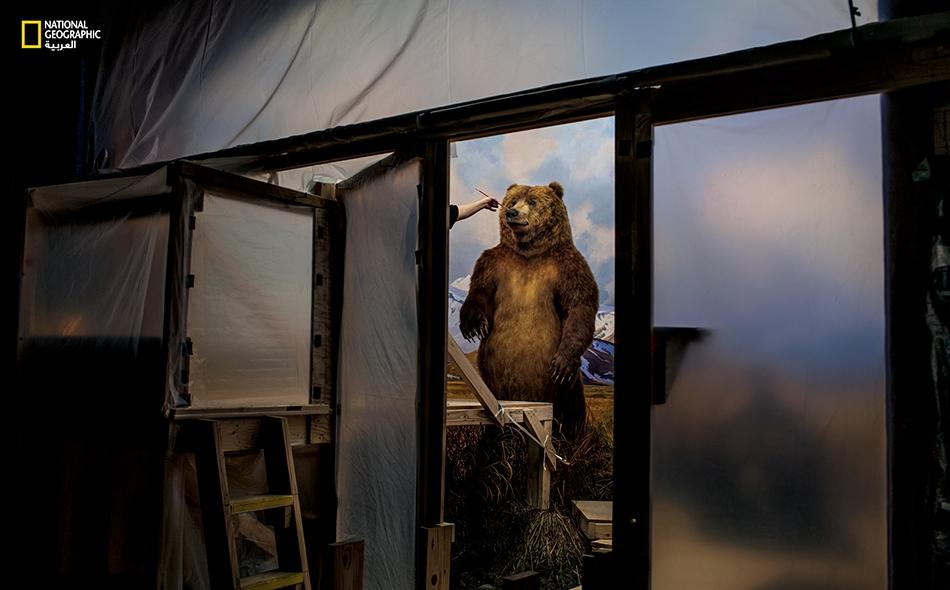 """في """"متحف التاريخ الطبيعي"""" بمدينة نيويورك، يضع خبير التحنيط، جورج دانتي، لمسات جمالية على جسد دب بني ينتصب داخل مشهد مُجسَّم (ديوراما) يتيح للزوار مشاهدة الحيوانات من قرب وفي وسطٍ يحاكي مَواطنها الطبيعية."""