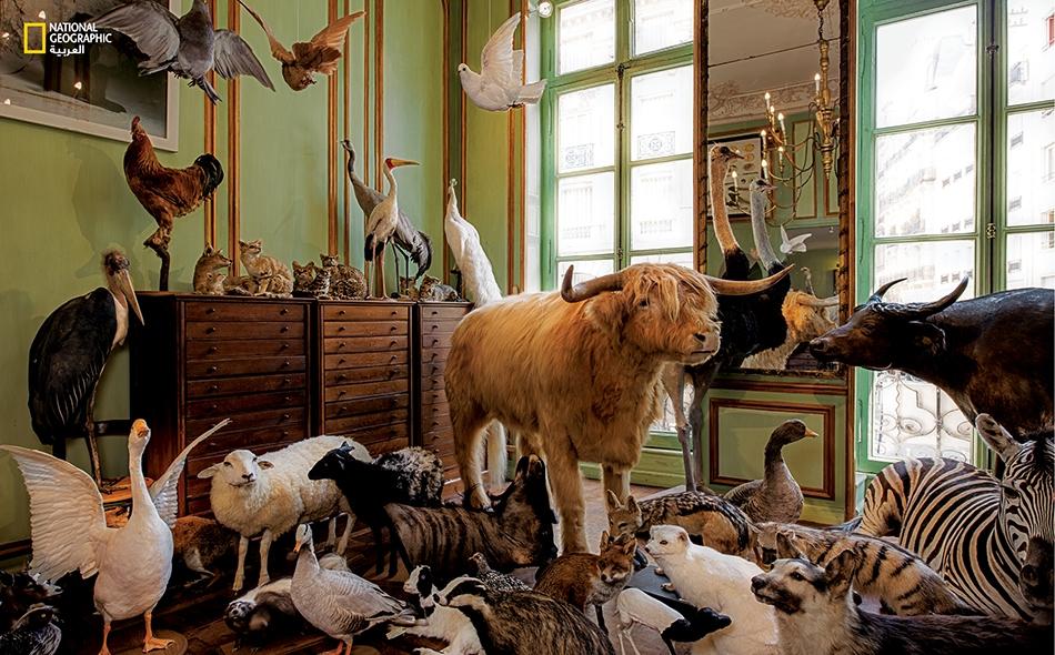 """تزايد الاهتمام بصنعة التحنيط خلال القرن التاسع عشر كما نرى في هذا المشهد الذي يبدو مستوحىً من سفينة نوح لكثرة ما به من حيوانات محنطة متنوعة؛ والمعروض في """"دايرول""""، وهو رواق فني ومعهد علوم تأسس في باريس عام 1831. متحف غريت نورث: هانكوك."""