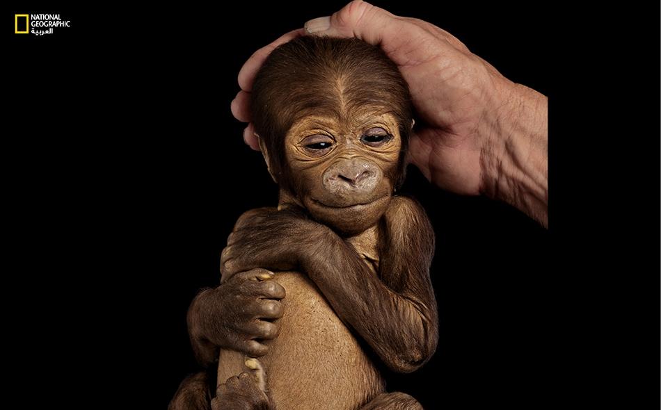 """لعل ذلك ما يفعله """"ئي. إيه. بيلي هانكينز الثالث"""" إذ يهدهد صغير """"غوريلا منخفضات"""" (يسار) قام بتحنيطه بعدما نفق لأسباب طبيعية في إحدى حدائق الحيوان بكاليفورنيا."""
