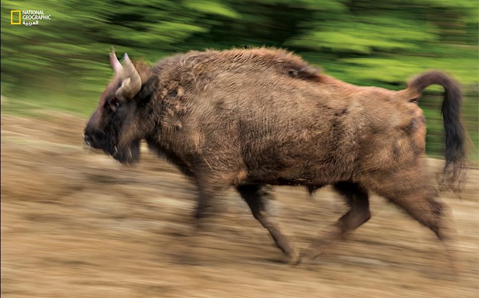 يبلغ تعداد البيسون الأوروبي في العالم 5000 ثور، يعيش زُهاء ثلثيها في براري أوروبا الشرقية، ويعد أكبر ثدييات القارة.
