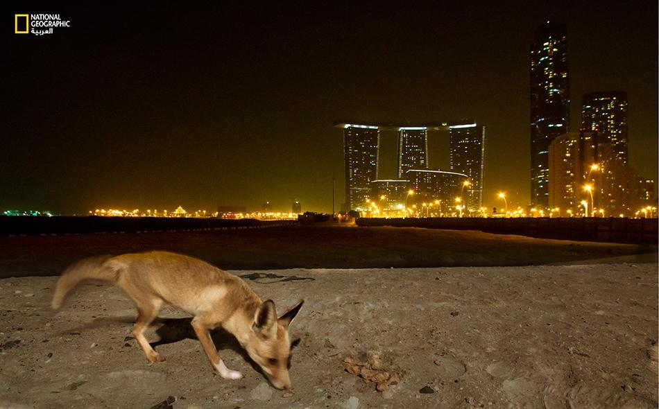 ثعلب أحمر عربي يبحث عن فريسة ليلية يقتات بها، وتبدو من ورائه الأضواء المنيرة لناطحات السحاب الحديثة التي بدأت تحتل مساحات مهمة في جزيرة الريم.