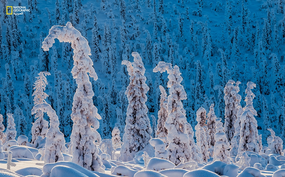 """أشجارُ التنوب المثقلة بالثلج تتمايل تبعاً لعوامل الطقس هنا في النرويج. يقول الكاتب، جون أوتسي، القاطن بمدينة يوكموك: """"تشكل العزلة والمنظر الطبيعي الجميل السِّمة الأساس لمنطقة لابونيا"""". إيرلند هاربرغ"""
