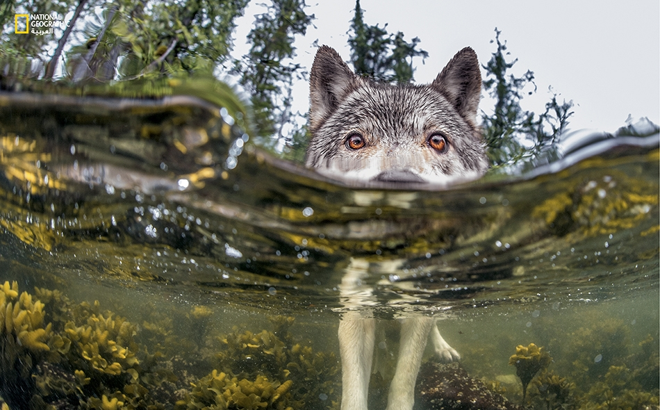 توقّفَ هذا الذئب عن التهام وجبته من بيض سمك الرنجة ليتفحّص شيئاً شبه مغمور بالمياه: إنها كاميرا المصور. أيان ماك آليستر، منظمة (PACIFIC WILD)