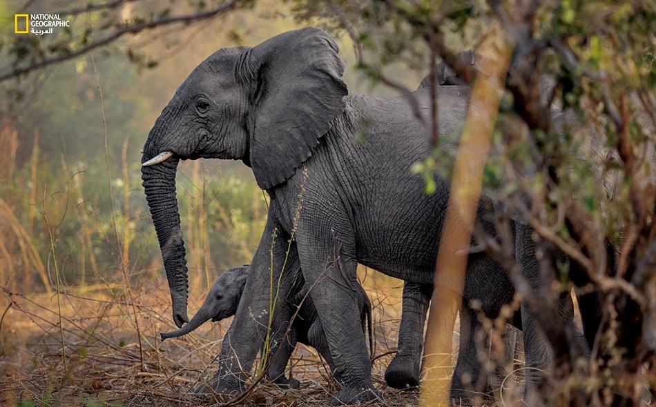 يستخدم الصيادون البنادق والكمائن والشراك لصيد الفيلة في زيمبابوي