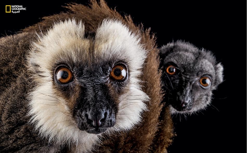 الليمور أبيض الرأس على مدى السنوات الـ70 المقبلة، يُحتمل أن تخسر حيوانات الليمور بجزيرة مدغشقر نحو 60 بالمئة من مواطنها الطبيعية بفعل تغير المناخ. ولو كان المناخ هو العدو الوحيد لهذا النوع، فلربما يستطيع البقاء؛ فالمناخ لن يقلص مواطنه بالأراضي...