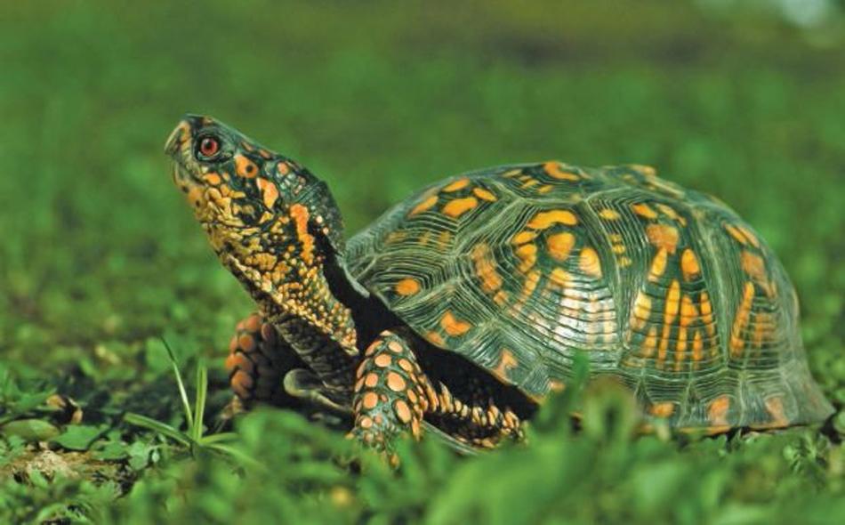 أقامت السلاحف الخضراء عدداً قياسياً من الأعشاش هذه السنة في فلوريدا