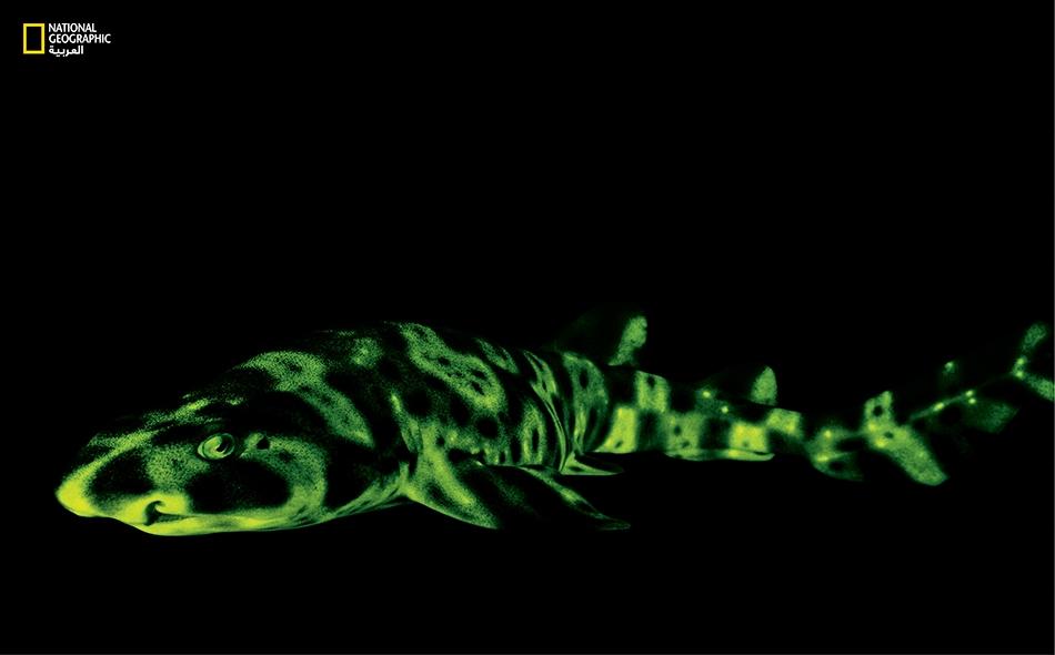 التقط غروبر صورة لهذا القرش باستخدام كاميرا مجهزة بضوء حيوي تُصدر ضوءاً أزرق اللون.. لكنه ينبعث من جلد القرش في شكل ضوء أخضر.