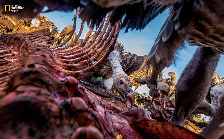 نسر أبقع يافع يسعى للحصول على قطعة من جيفة حمار وحشي في سيرينغيتي. تناولت الطيور المسيطرة الأكبر سنا ملء بطونها مما تخيرت من لحم وتركت الجلد والعظم للصغار والنسور بيضاء الظهور.