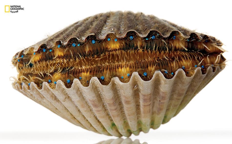 تتميز صدفة محار الخلجان (Argopecten irradians) بنحو 100 عين زرقاء لامعة، تضم كل واحدة منها طبقة عاكسة تعمل بمنزلة عدسة مركِّزة وتزيد من حظوظ التقاط الضوء الوافد.