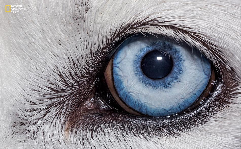 الكلب الأليف (Canis lupus familiaris)