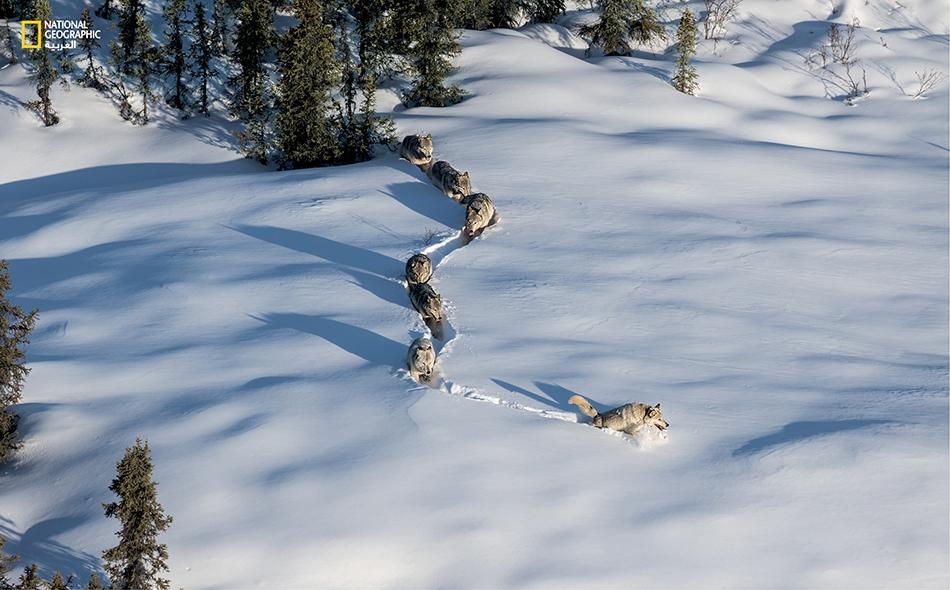 """يخلّف زوج الذئاب المتناسلَين في مجموعة """"آيرن كريك ويست"""" آثاراً جديدة في الثلج الذي سقط مؤخراً أثناء قيادتهما أولادهما إلى أراضي صيد جديدة. يحمل الأبوان طوق تعقّب كان علماء الأحياء قد ثبّتوه عليهما."""