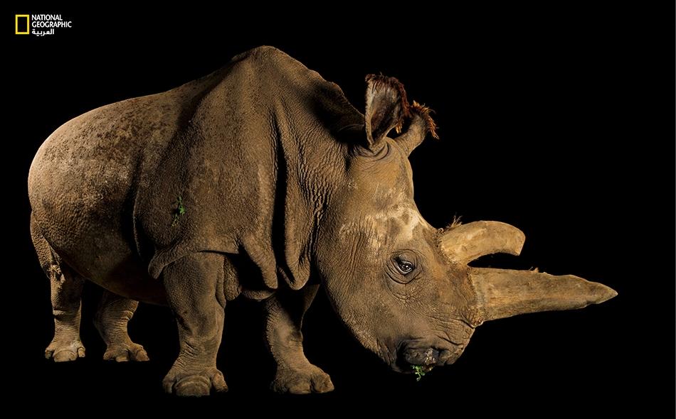 """وحيد القرن الأبيض الشمالي (Ceratotherium simum cottoni) كانت هذه الأنثى المُسمَّاة """"نابيري"""" واحدة من خمسة حيوانات فقط بقيت من نوعها الفرعي.. قبل أن تنفق في الصيف الماضي، أسبوعاً واحداً بعد التقاط هذه الصورة. وبعد أشهر قليلة، نفق وحيد قرن أبيض شمالي..."""