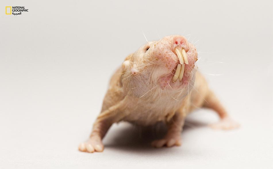 """جرذ الخلد العاري (Heterocephalus glaber) هذا القارض هو أول حيوان صُوِّر ضمن مشروع """"Photo Ark"""" (فُلك الصور)، وهو يعيش في مستعمرات كبيرة بأنفاق تحت الأراضي القاحلة في شرق إفريقيا. حديقة حيوانات لينكولن للأطفال، الولايات المتحدة"""