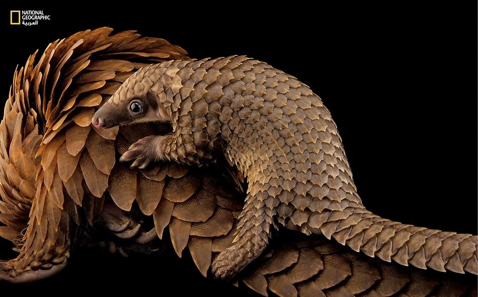 """البنغول الإفريقي الشَّجَري (Phataginus tricuspis) صغير بنغول يركب ظهر أمه في """"محمية البنغول""""، وهي منظمة غير ربحية يوجد مقرها في مدينة """"سانت أوغوستين"""" بولاية فلوريدا. يُستخدم لحم هذا النوع الثديي وحراشفه لأغراض التداوي؛ ولذا فإنه يُصطاد بصفة غير قانونية."""