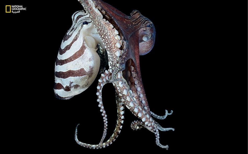 يُنعَتُ أخطبوط المحيط الهادي المخطط الكبير بالمُهرِّج لما يتميز به من أنماط خطوط متنوعة وألوان مختلفة كما يظهر على الأنثى (الظاهرة باللون الأبيض في الصورة) وشريكها الذكر.