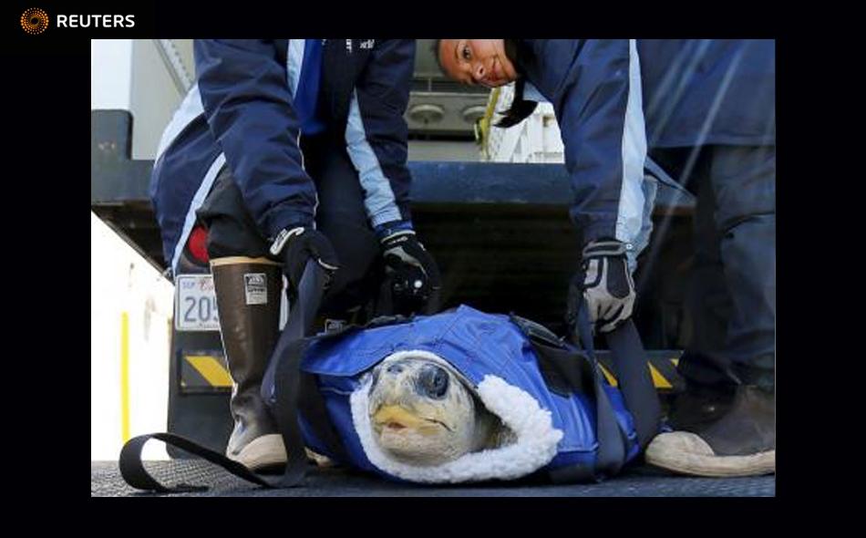 واحدة من السلحفاتين اللتين تم انقاذهما عند وصولها إلى مركز انقاذ الحيوان في متنزه (سيوورلد) في سان دييجو بكاليفورنيا يوم الأربعاء. تصوير مايك بليك – رويترز