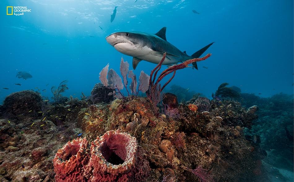 لعل سلامة هذه الشعبة المرجانية في الباهاماس تعتمد على أسماك القرش الببري بطرق لم تُفهم بعد.
