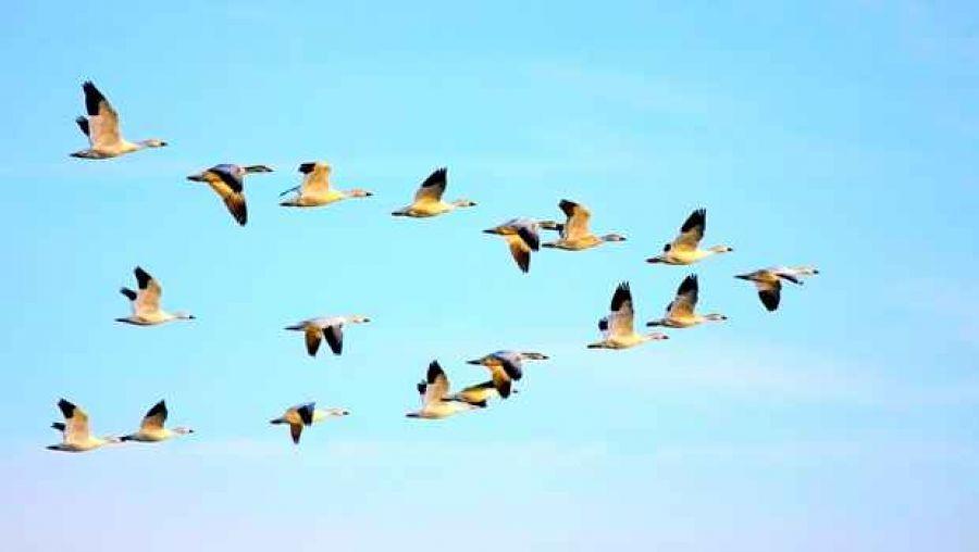أسراب من الطيور المهاجرة. الصورة: وكالة الأنباء الجزائرية