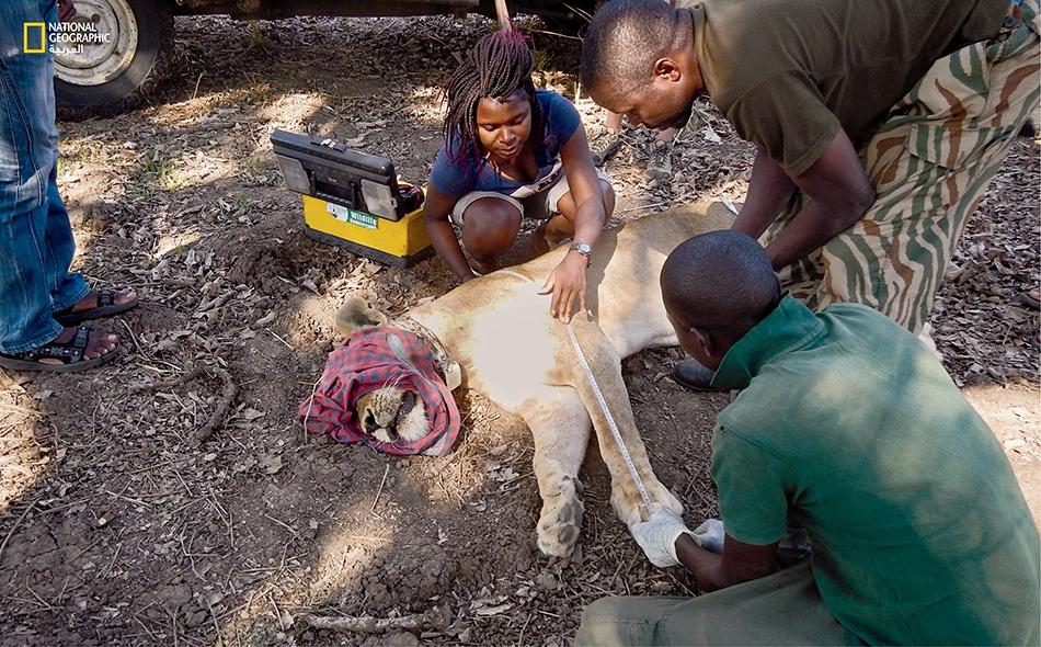 ثانديوه مويتوا تقيس أبعاد أسد مخدّر في زامبيا. فهي تسعى جاهدة لدعم فرض مراقبة تامّة لعمليات الصيد التي تكون طلباً للتذكارات، والتي يرجّح أن تتواصل هذا العام.
