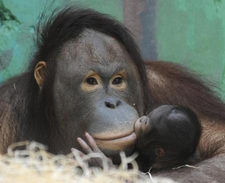 صورة من أرشيف رويترز لإنسان غاب بورنيوي عمره ثلاثة أيام يتشبث بأمه.