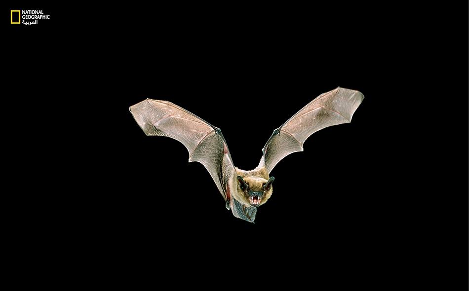 خفافيش نافعة