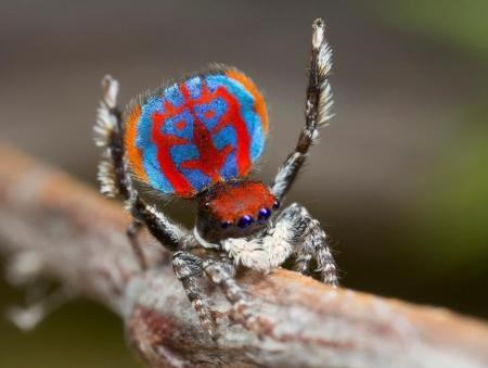 عنكبوت ينتمى لفصيل من العناكب اكتشفه عالم استرالي حديثا في صورة غير مؤرخة حصلت عليها رويترز من طرف ثالث.