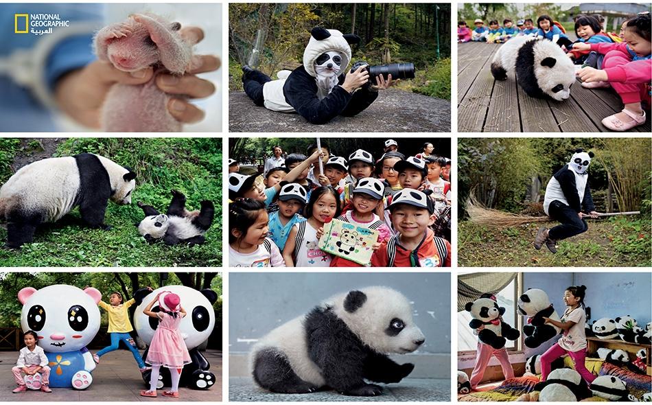 عشق الباندا.. ومضة من التاريخ