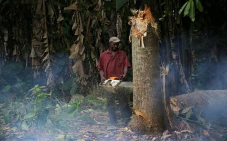 عامل يقطع شجرة في غابة ببلدة ايجيدي ايكيتي في جنوب غرب نيجيريا.