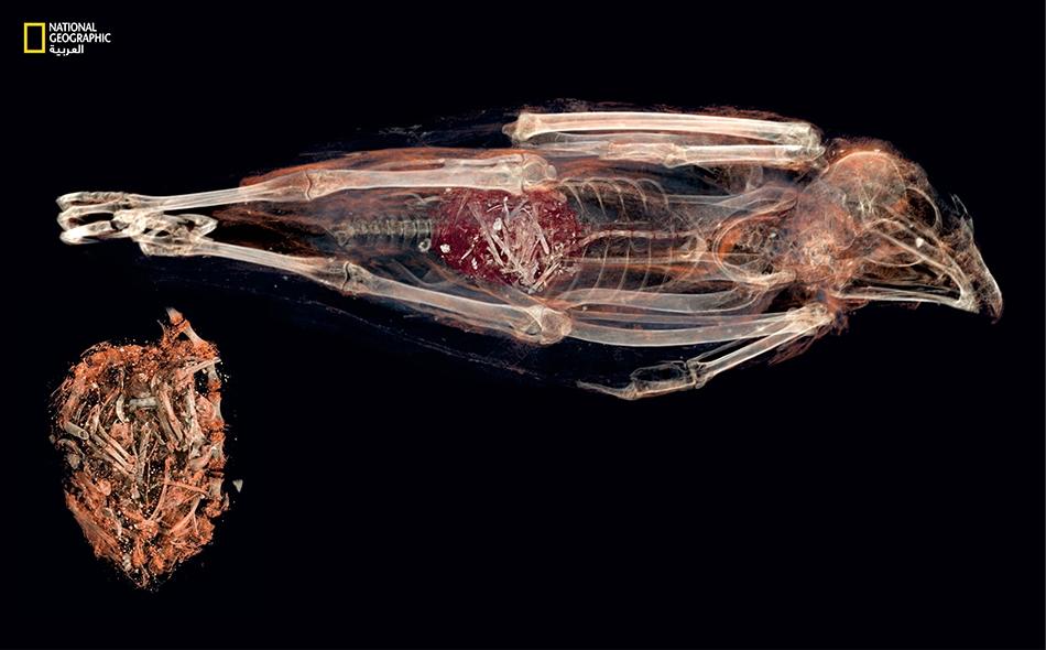 تظهر صورة مقربة للمعدة عظاماً وأسناناً ولحماً وريشاً غير مهضوم؛ ومنها عرف العلماء أنواع الفرائس التي التهمها هذا الطائر.