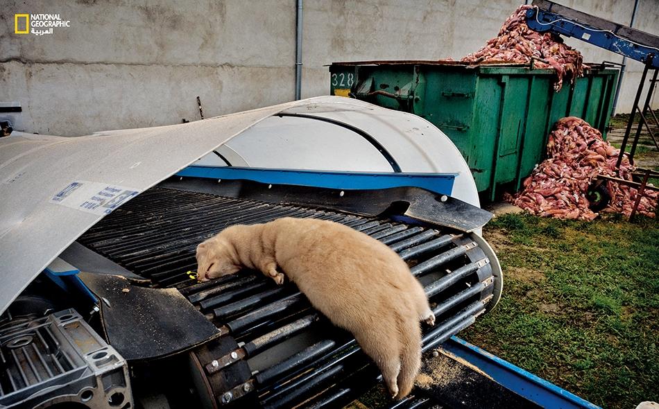 تم وضع حيوان المنك الموسوم هذا والذي قُتل بواسطة غاز أول أوكسيد الكربون، على حزام متحرك سينقله إلى آلات مهمتها إزالة جلده. تُلقى جثث حيوانات المنك في سلة المهملات، إذ لا فائدة تُرجى منها سوى في صناعة الأسمدة. ما إن يحل الخريف، يزداد سُمك فراء المنك...