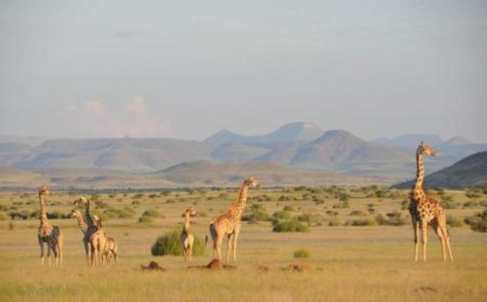 زرافات في ناميبيا.