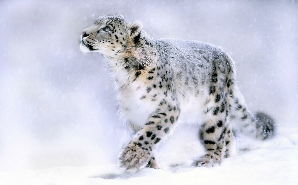 نمر الثلوج٬ من الحيوانات المفترسة التي تنتمي إلى عائلة السنوريات.