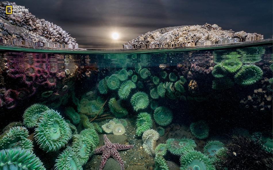 نجم بحرٍ وحيد -محاطٌ بشقائق بحرٍ خضراء عملاقة- يتغذى ببلح البحر والبرنقيل (نوع من القشريات). منذ عام 2013، تناقصت أعداد نجوم البحر على ساحل المحيط الهادي من الولايات المتحدة بوتيرة غير مسبوقة.