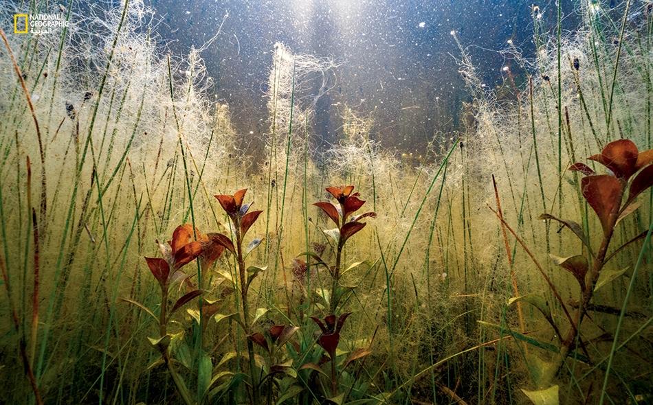 """التُقِطَت هذه الصورة تحت الماء.. ونرى فيها خيوطاً من الطحالب تنمو في ما هو عادةً ميدانٌ جافّ من أرض معسكر """"كَيب بوينت"""" على جزيرة """"هاتيراس""""."""