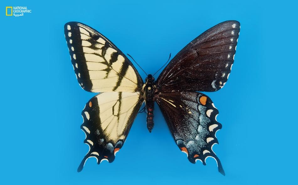 الجانب الأصفر مذكر والجانب الداكن مؤنث في هذه الفراشة (التي تبدو في الصورة بحجم يعادل مرة ونصف حجمها الطبيعي).