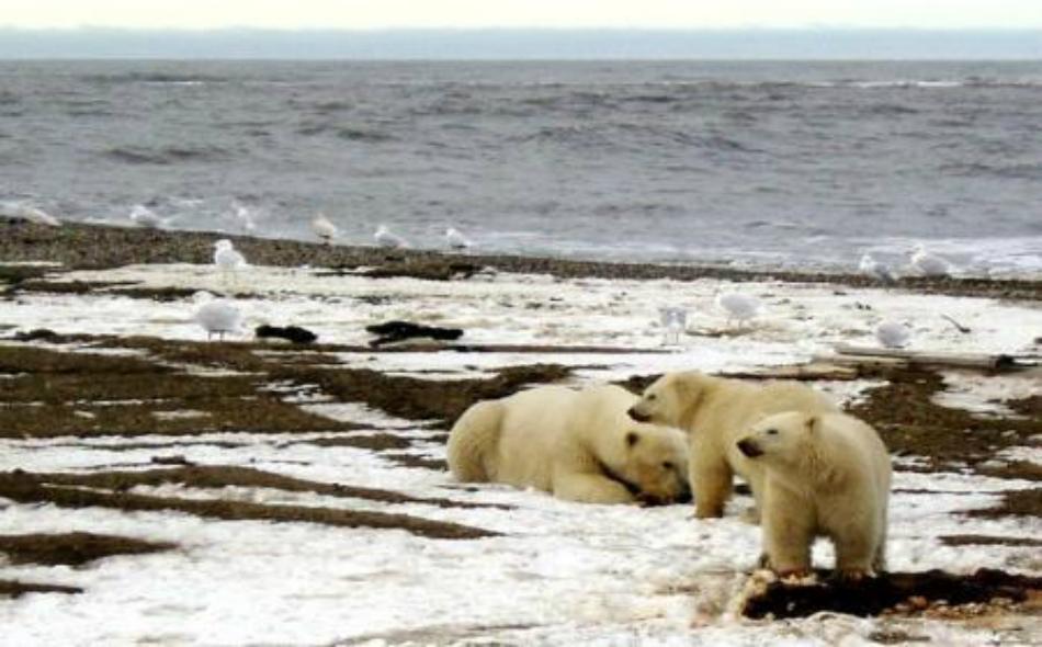 ذوبان الثلوج يهدد دببـة القطـب